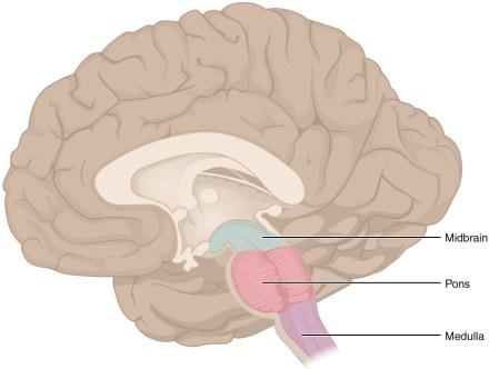 The brain stem of a human brain