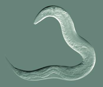 El nemátodo C. elegans en su máximo esplendor. Fuente Wikipedia.