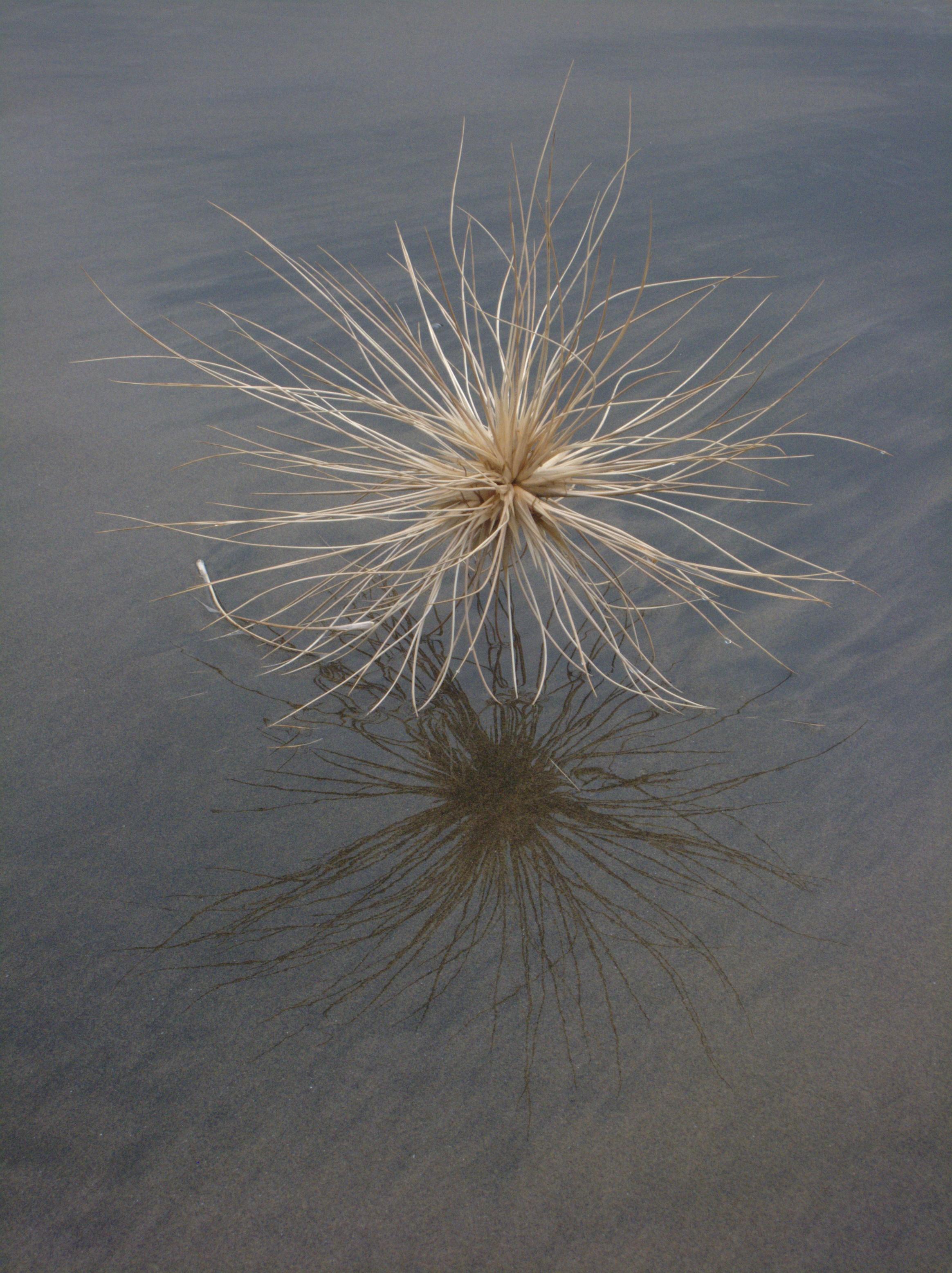 https://i2.wp.com/upload.wikimedia.org/wikipedia/commons/6/6a/Spinifex_sericeus_seed_head.jpg