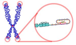 Cromosoma con telómeros en sus extremos. Fuente Wikipedia