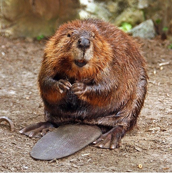 Cuddly Beaver