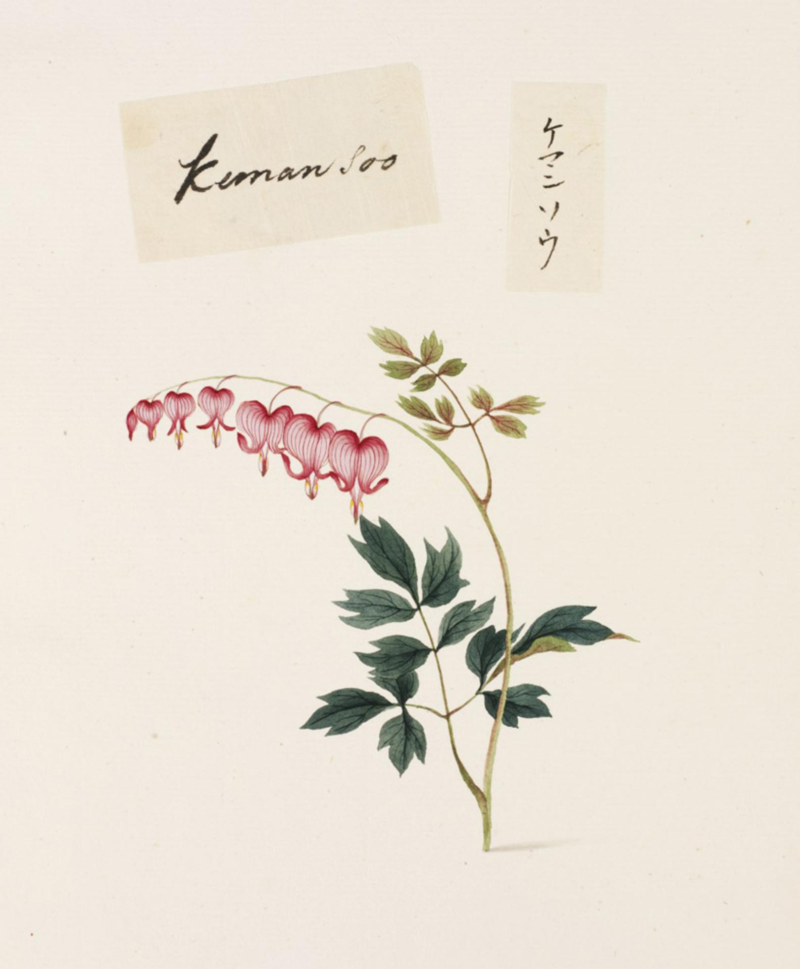 Dicentra spectabilis illustration (With images) Heart