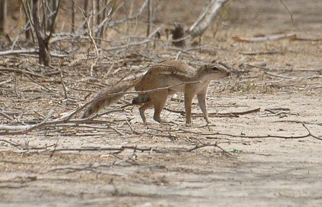 Striped Ground Squirrel (Xerus erythropus) by BOISSEL Philippe