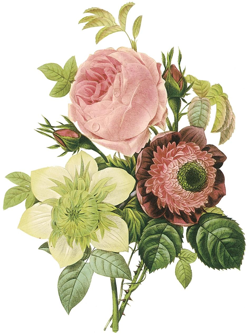 Centifolia rose, anemone, and clematis. Pictur...