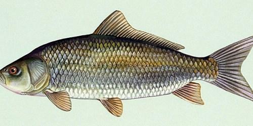 What is best alternative to katla fish masalatize for Buffalo fish taste