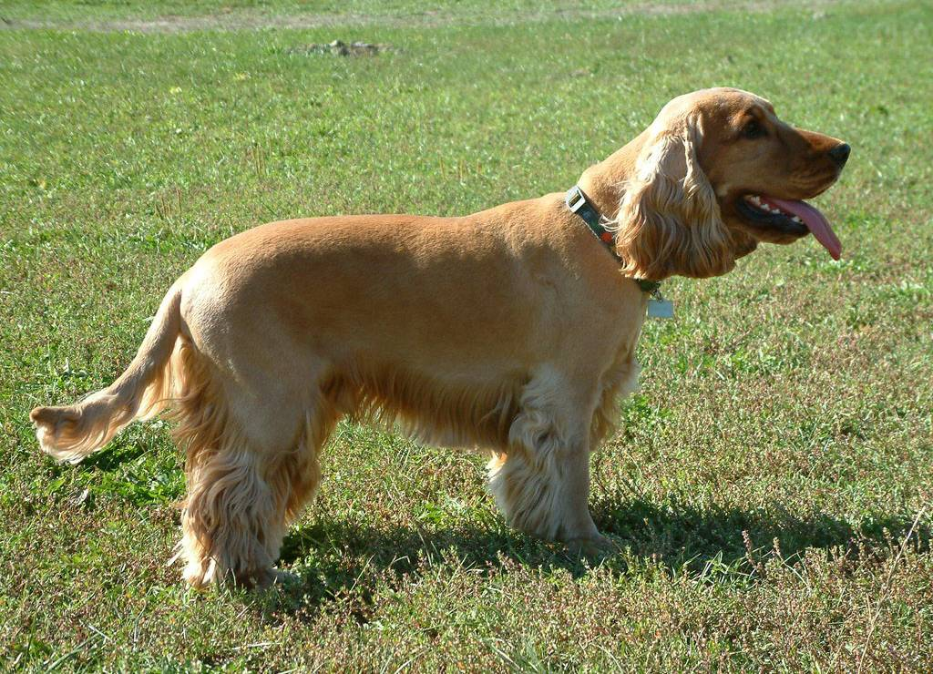 https://i2.wp.com/upload.wikimedia.org/wikipedia/commons/7/70/EnglishCockerSpaniel_simon.jpg