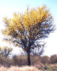 Geoffroea decorticans or chilean palo verde