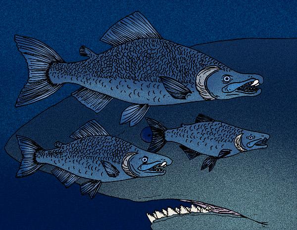 File:Oncorhynchus rastrosus.JPG