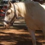 File American Cream Draft Horse 2 Jpg Wikimedia Commons