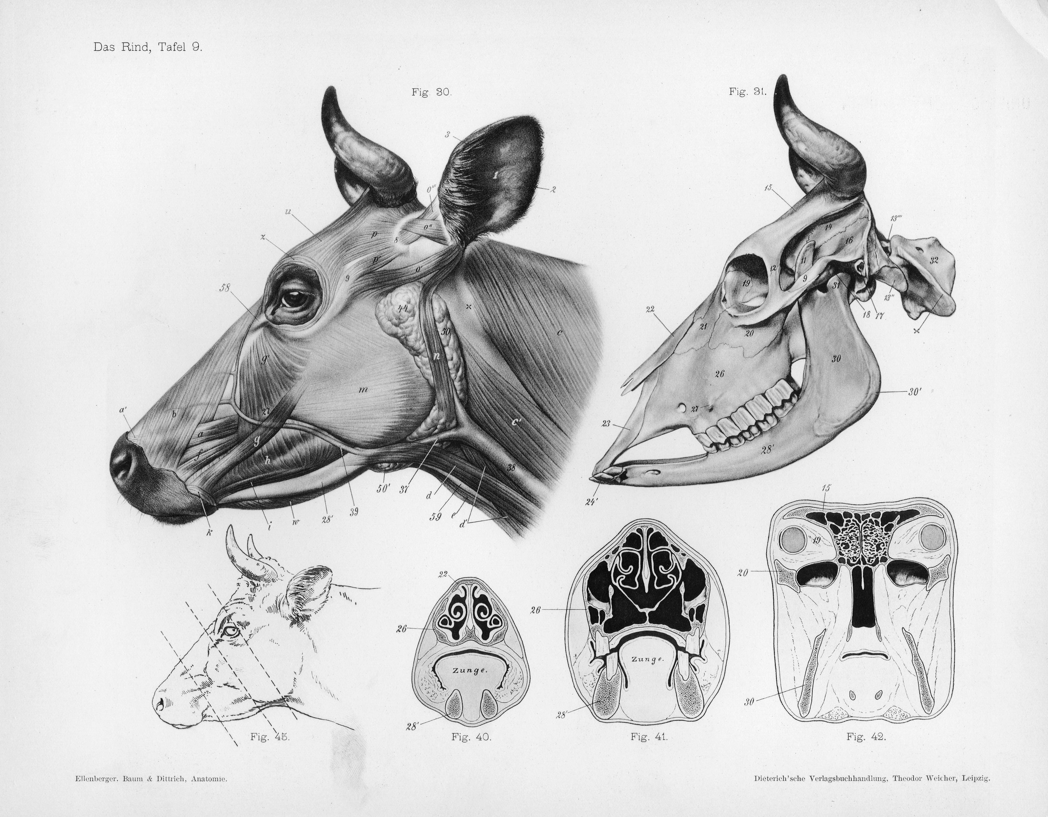 File Cow Anatomy