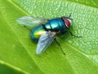 Greenbottle fly on leaf