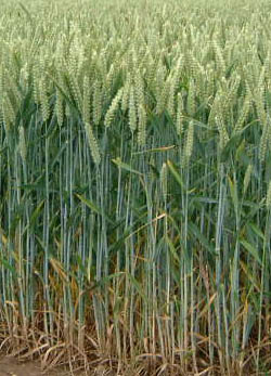 Wheat is such a nice looking plant. Who knew it would wreak havoc on your body?