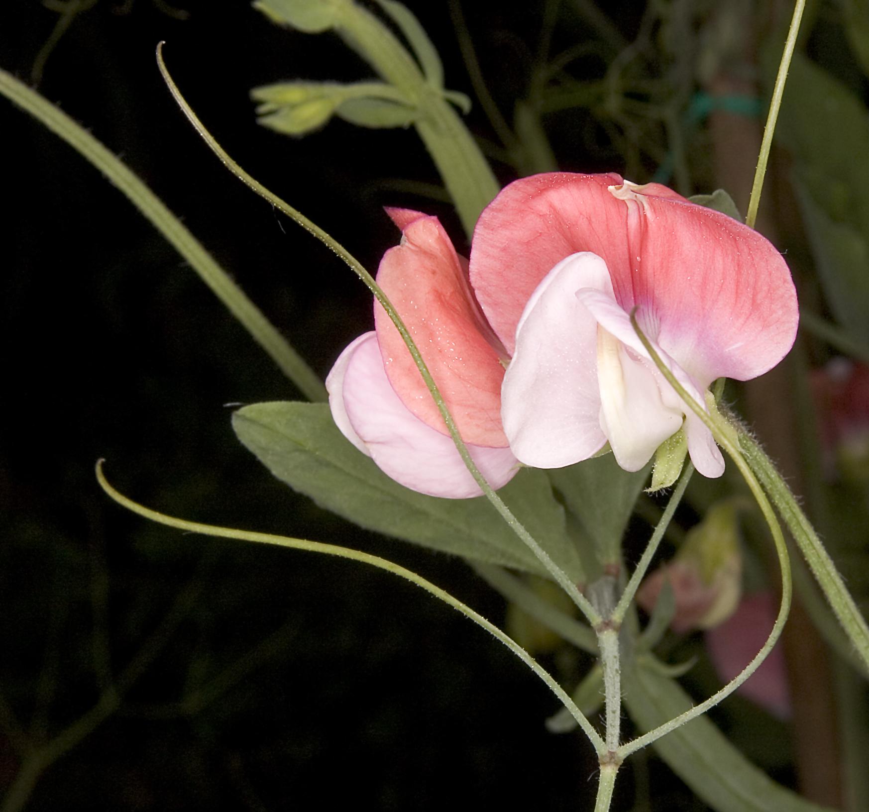 Lathyrus odoratus 'Painted Lady', Fabaceae, Fa...