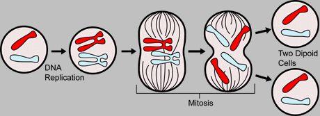 Mitoz, hücre bölünmesi sırasında genetik bilgiyi ikiye böler.