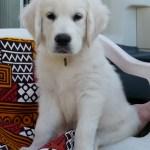 File White Golden Puppy Jpg Wikimedia Commons