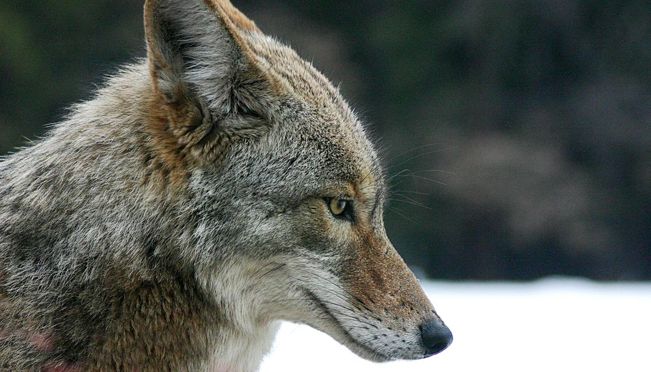 A coyote in Yosemite National Park, California...