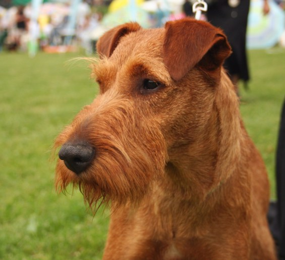 irish_terrier_dog_breeds_great_for_seniors_dogdojo