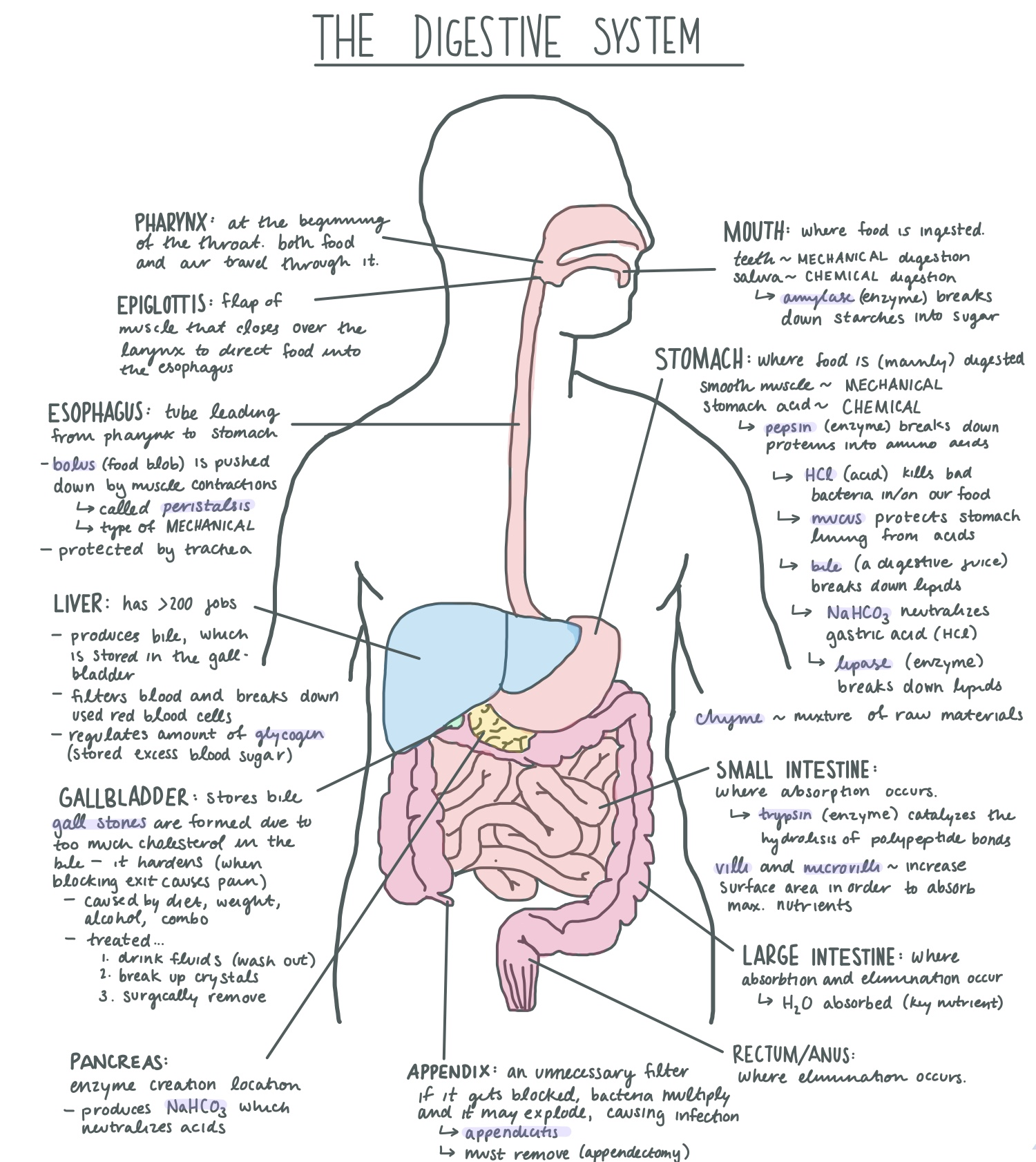 File Digestive System Diagram