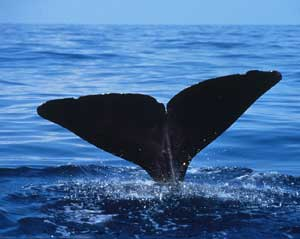 The flukes of a sperm whale as it dives into t...