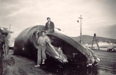 File:Cheynes whale.jpg