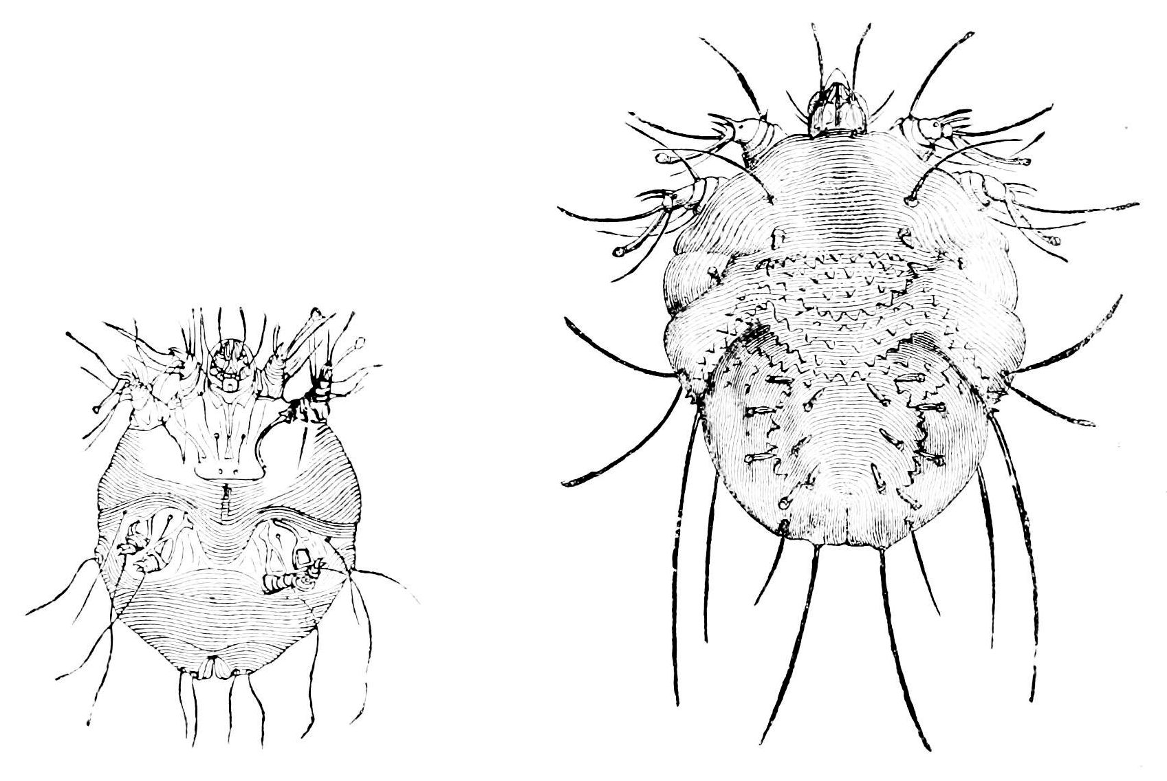 File Psm V14 D526 Male And Female Sarcoptes Scabiei