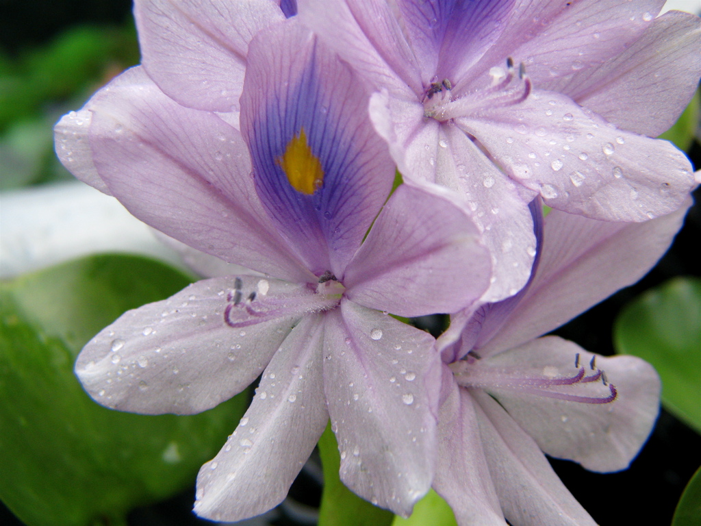 Water Hyacinth Care