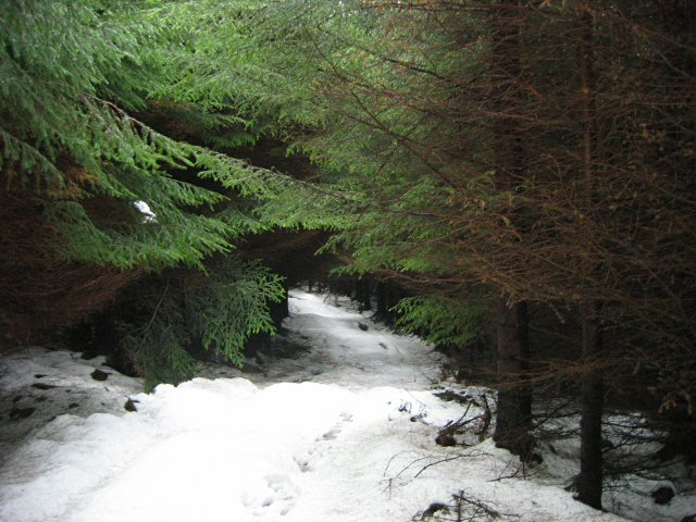 English: Snowy forest track. The tree cover ha...