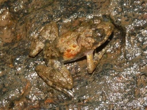 Phrynobatrachus calcaratus01