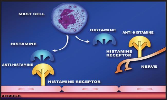 English: How antihistamines work