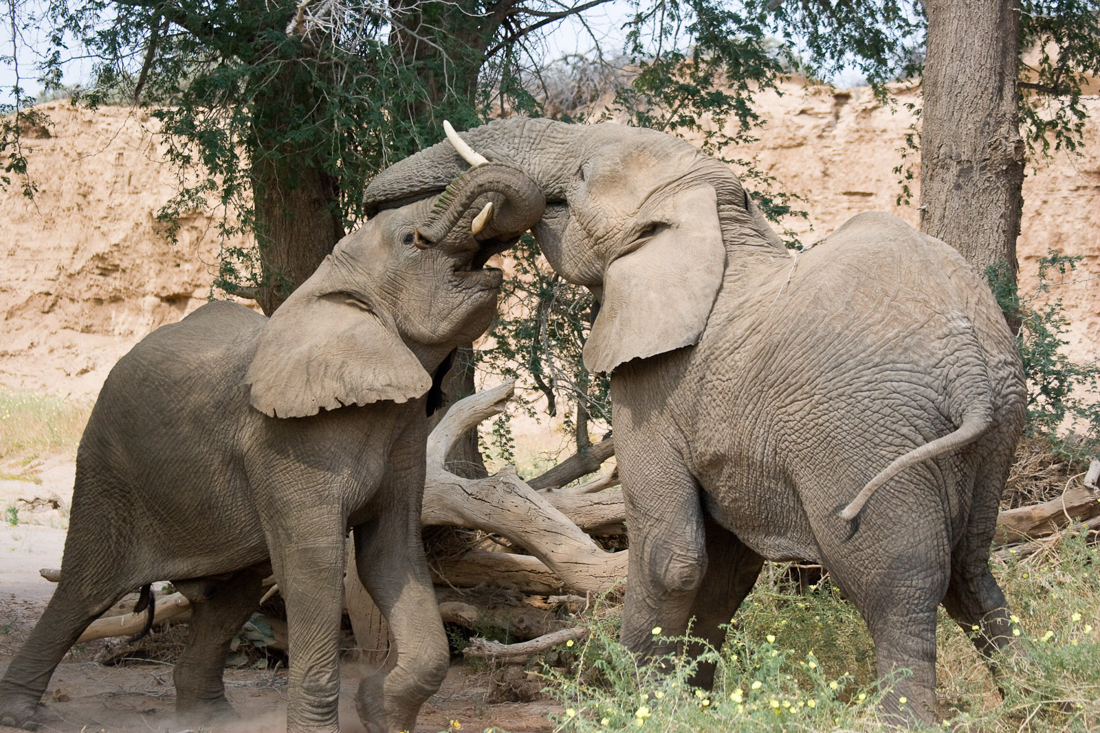 file:elephants fighting (3690385570) - wikimedia commons