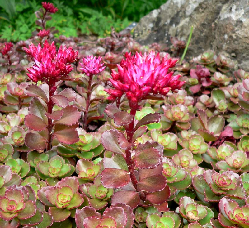 Image result for sedum spurium