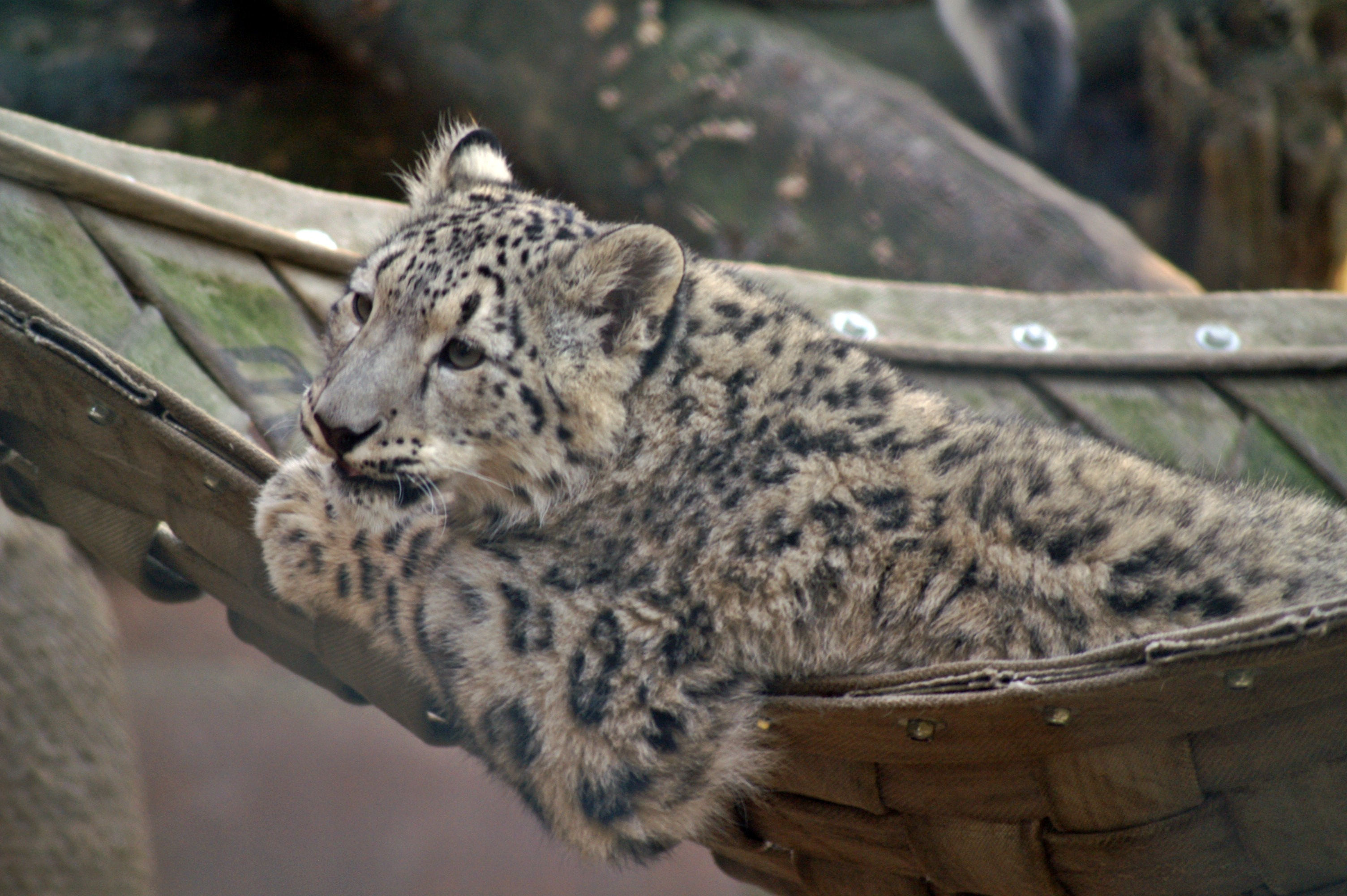 File Snow Leopard On Hammock