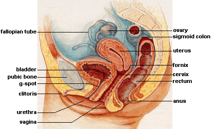 File:Female reproductive system lateral.png