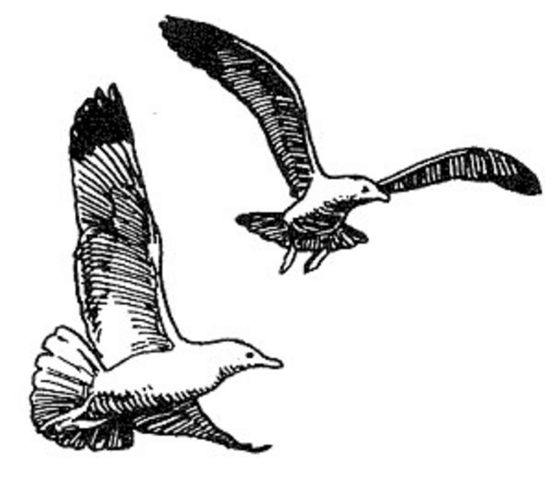 File Herring Gull Line Drawing Art
