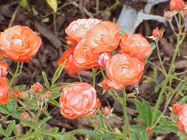Rosa sp. VatertagTantau 1959 Image no. 287, Lizenz:GFDL, von Kurt Stueber, http://www.biolib.de/