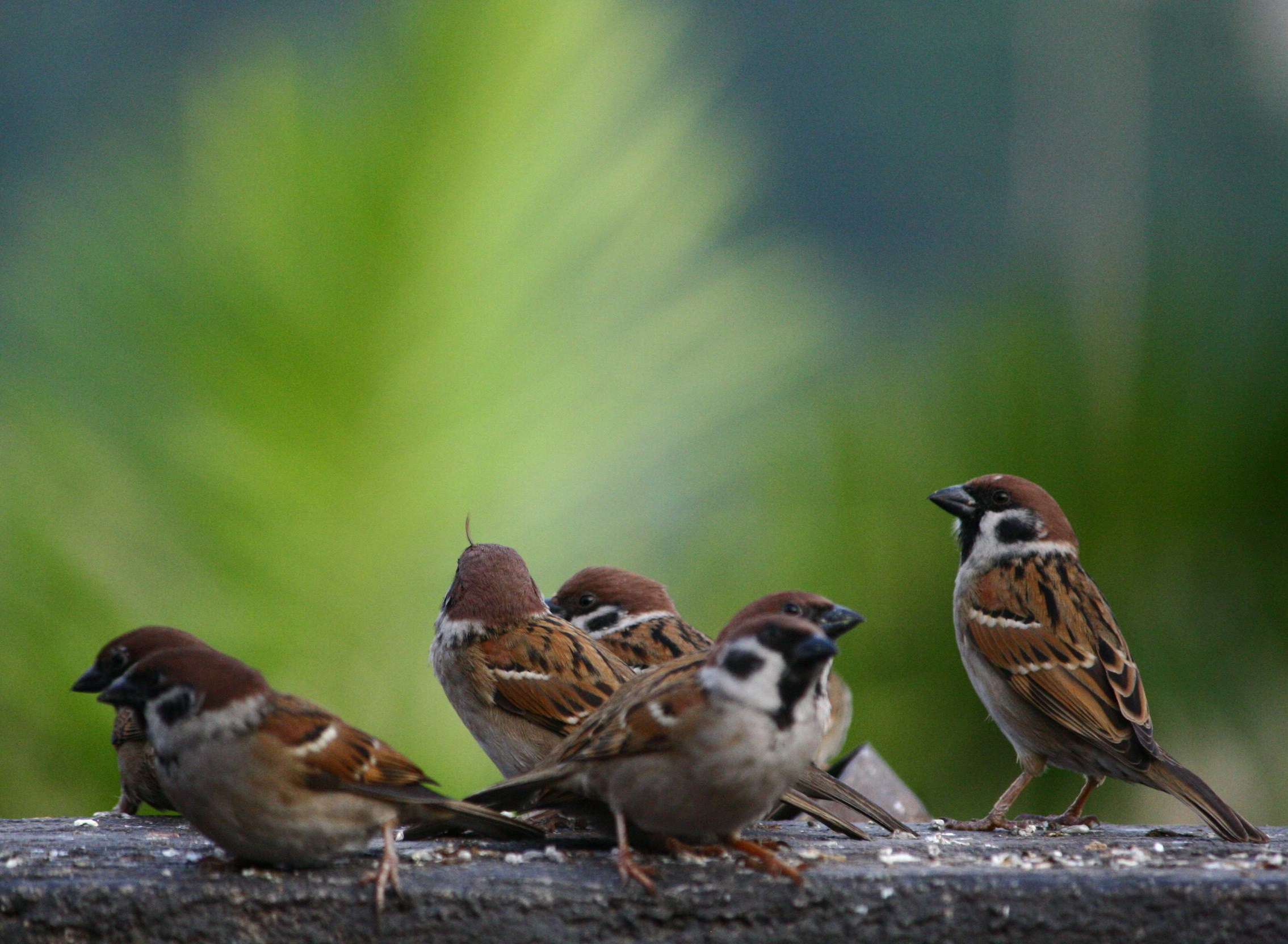 Group of sparrows.