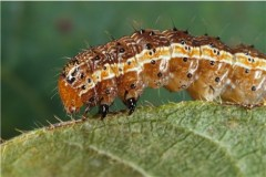 Spodoptera frugiperda larvae (a.k.a. what you just drank)