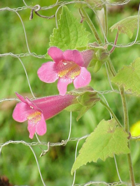 Species: Asarina erubenscens Family: Scrophula...