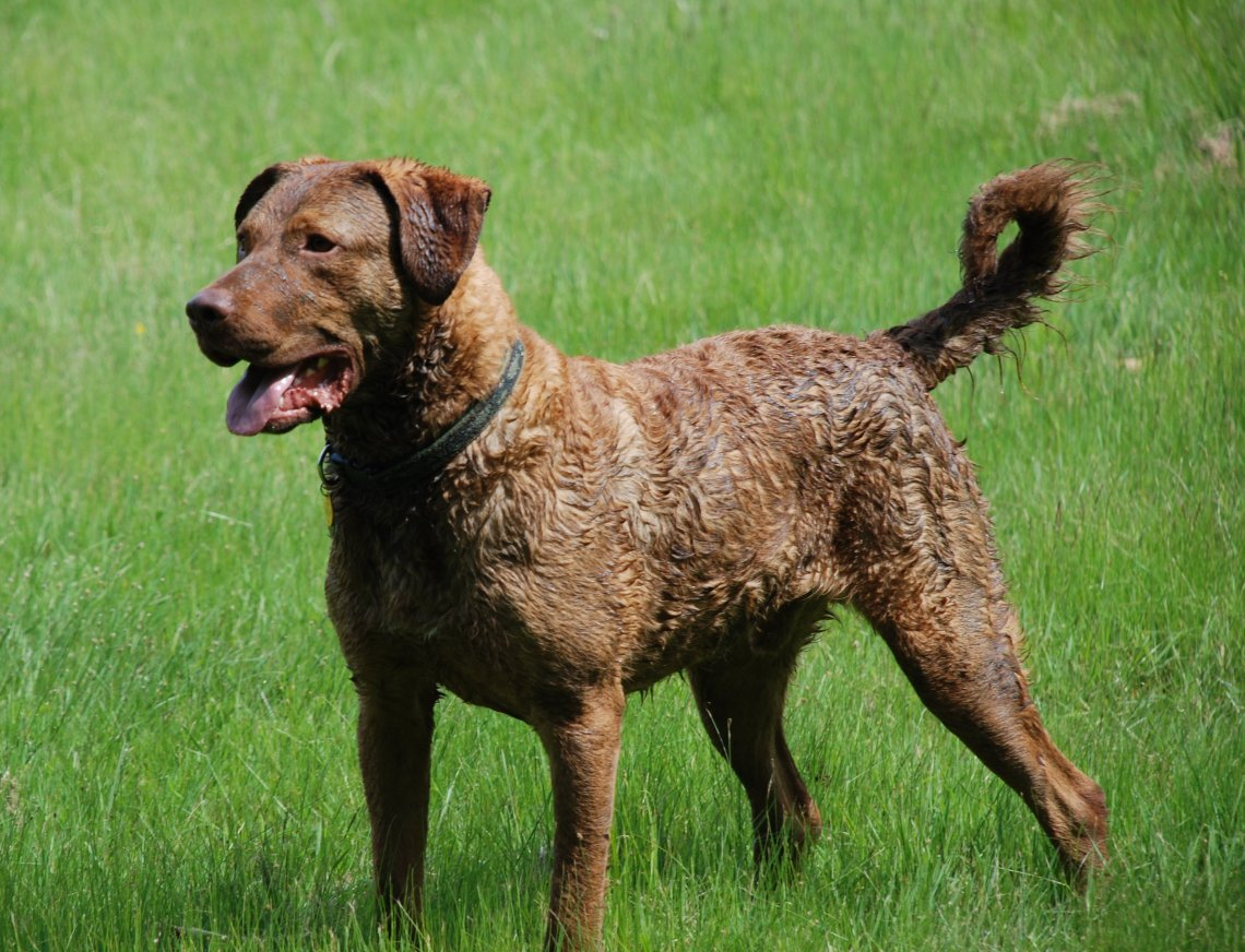 Chesapeake Bay Retriever1 Pitbull Dog Personality