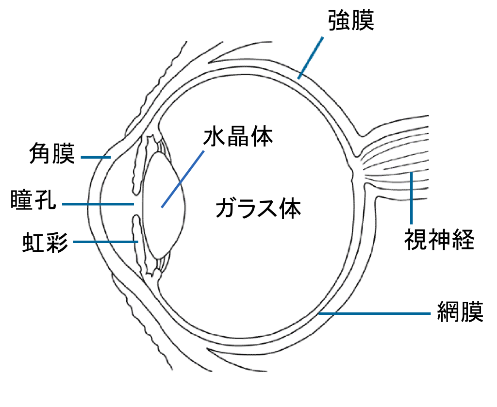 Simple Diagram Of The Eye