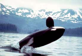 Killer whales, like this one spotted near Alas...