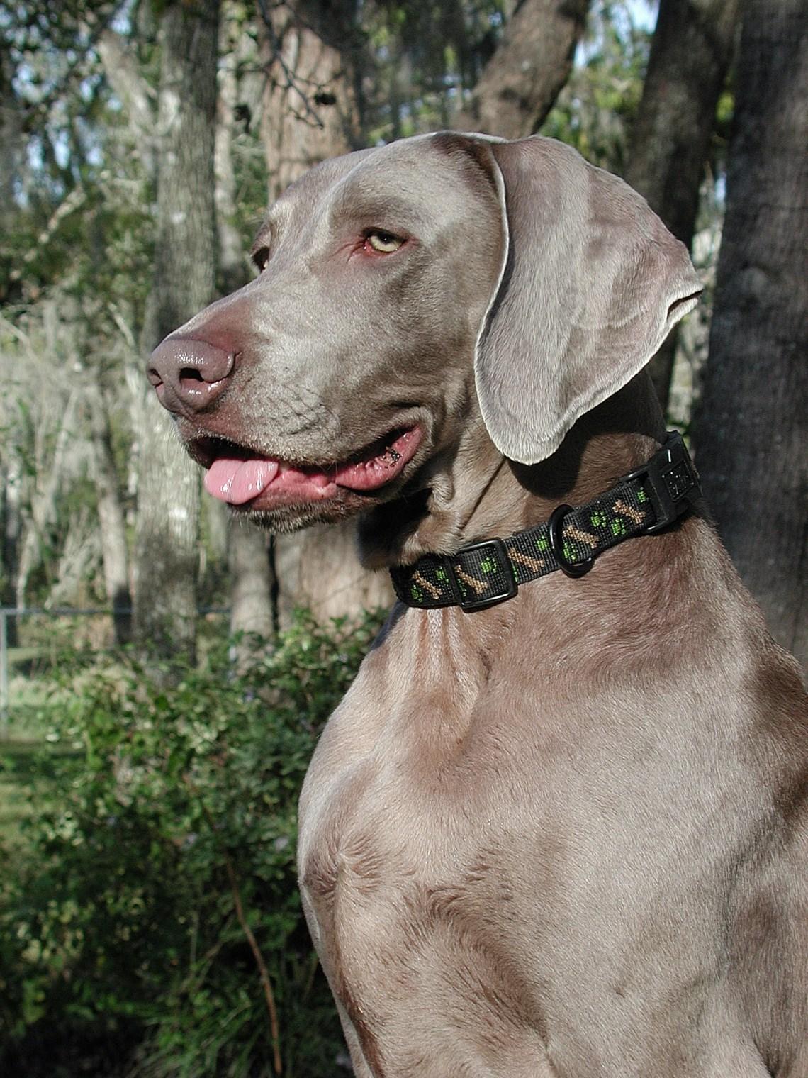 Weimaraner Walker portrait Pitbull Dog Ears