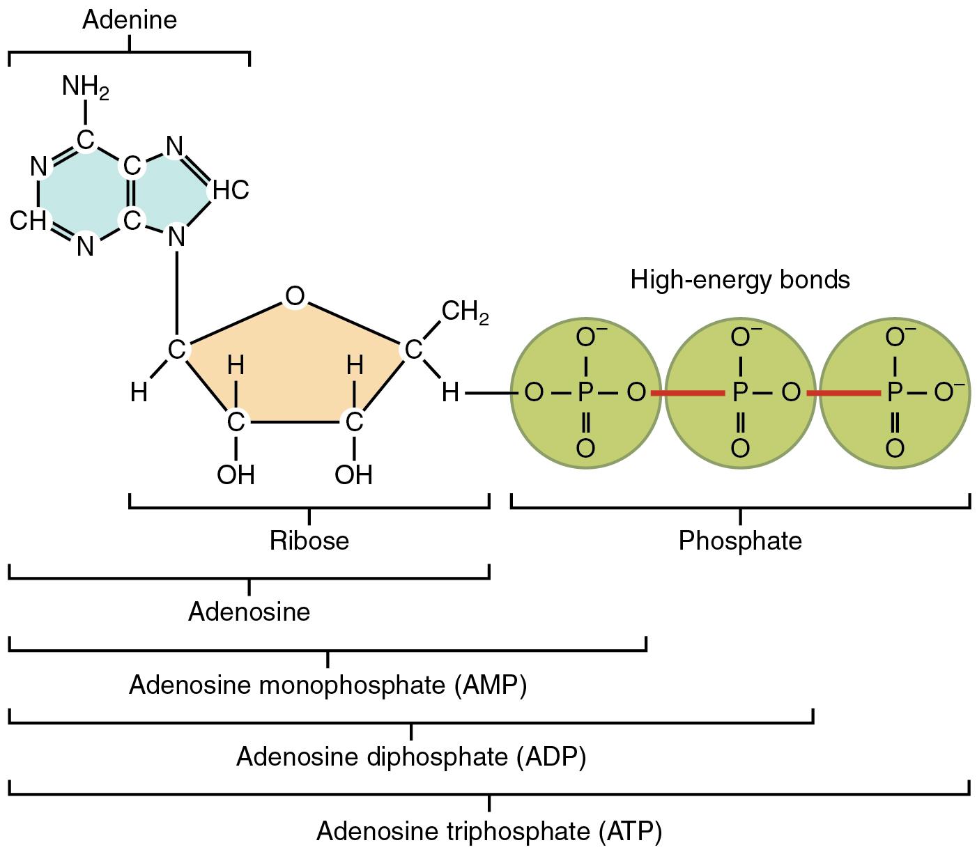 Att Ls 230 Structure Of Adenosine Triphosphate Atp 01