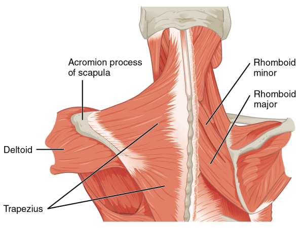 Image result for rhomboids trapezius