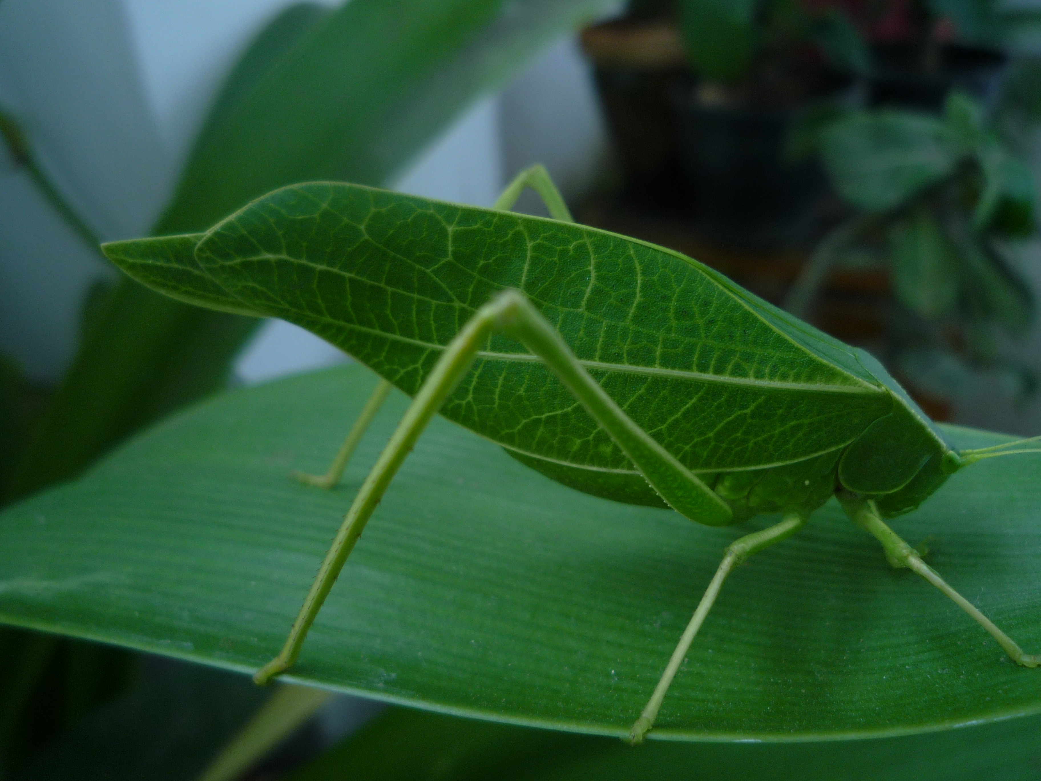 File Leaf Insect