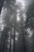 Redwoods among the fog (Photo credit Scott Catron)