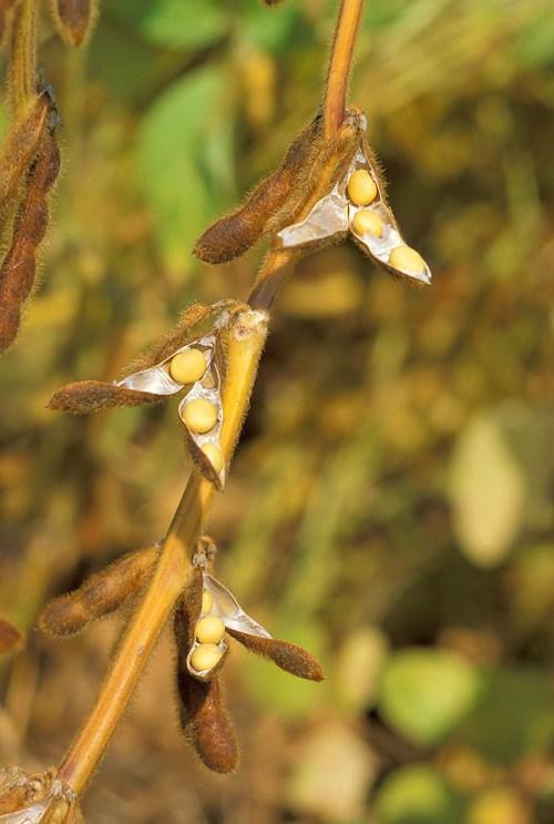 Wikipedia - Soybeans - USDA