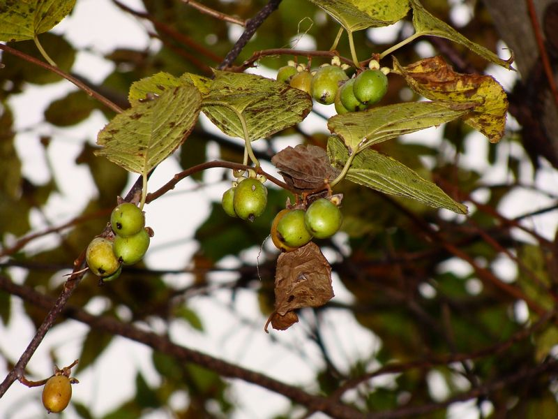 What Are Vine Fruits