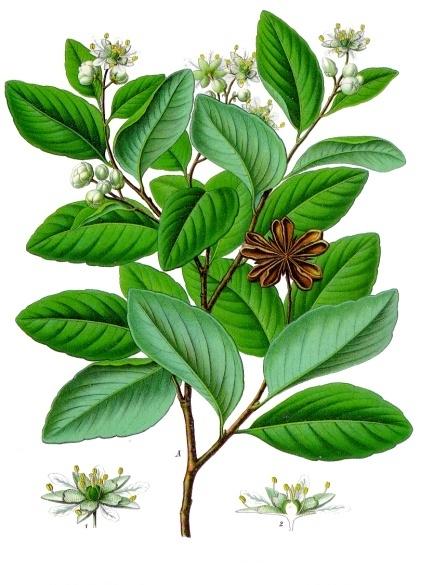 File:Quillaja saponaria - Köhler–s Medizinal-Pflanzen-119.jpg