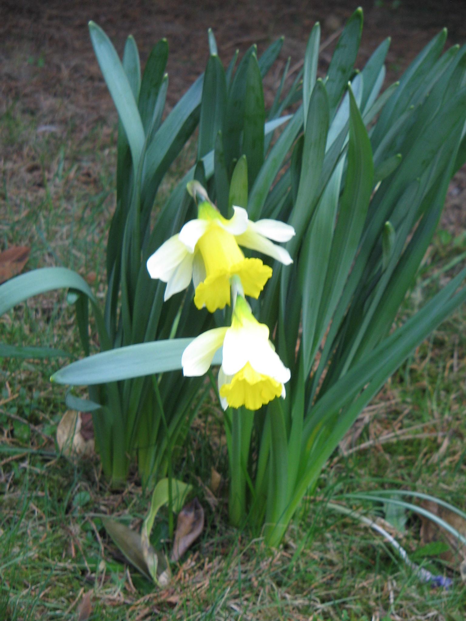 Narcissus Greek Mythology Link